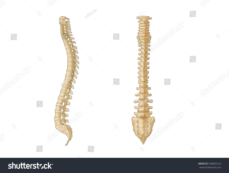 Royalty Free Stock Illustration Of Vertebral Column Spine Bones Side