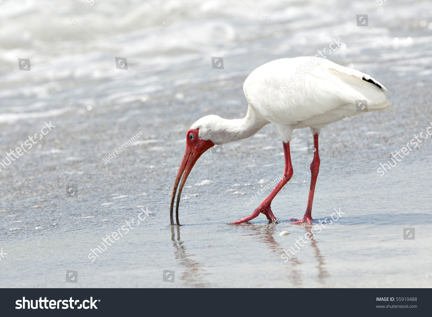Beautiful white ibis bird orange bill stock photo 55910488 beautiful white ibis bird with orange bill and legs feeding in the surf on sandy beach buycottarizona Choice Image