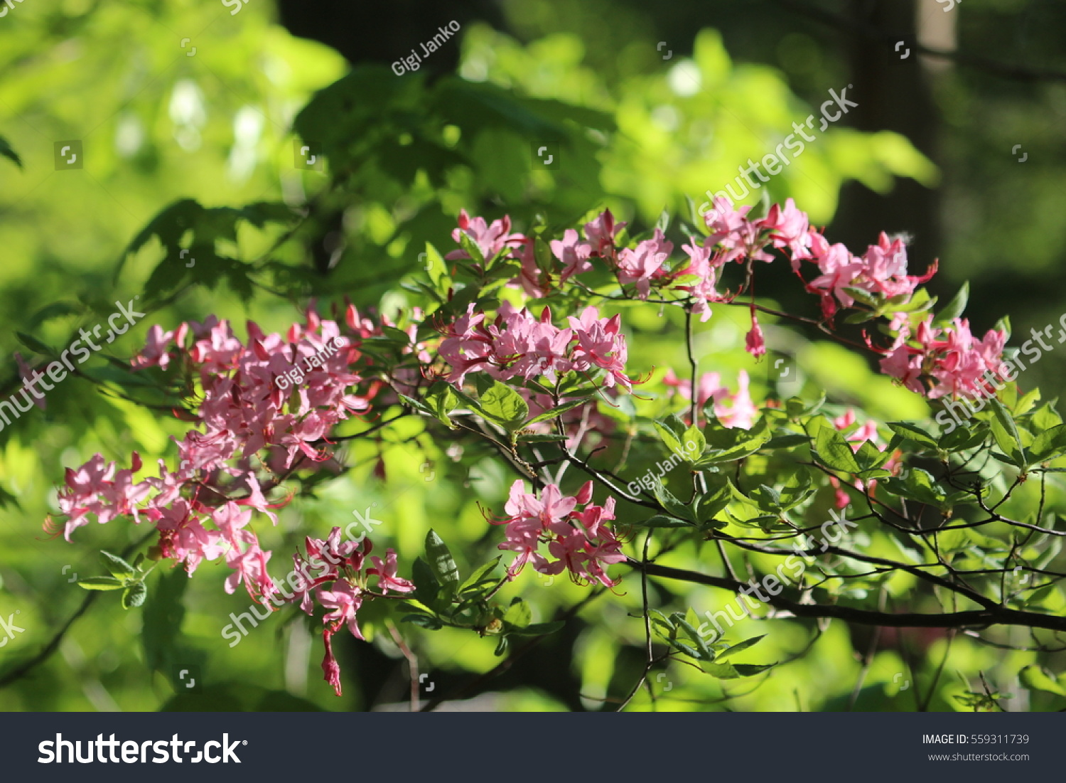 Small Pink Flower Bush Stock Photo Edit Now 559311739 Shutterstock