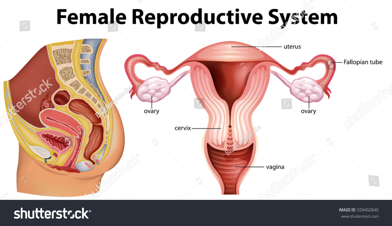 Diagram Showing Female Reproductive System Illustration Stock Vector