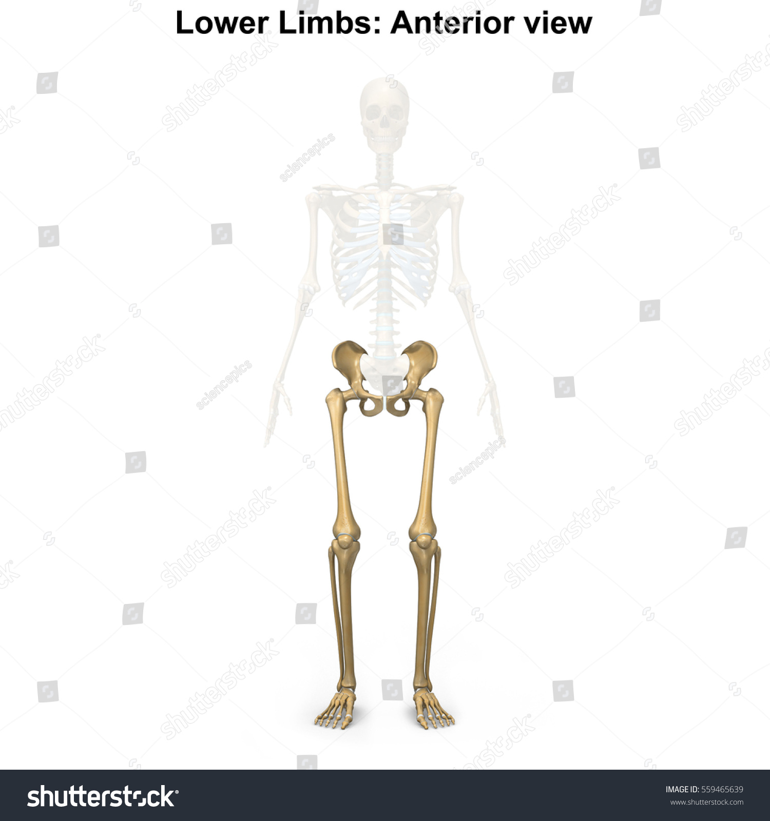 Bones Lower Limbs 3 D Illustration Stock Illustration 559465639 ...