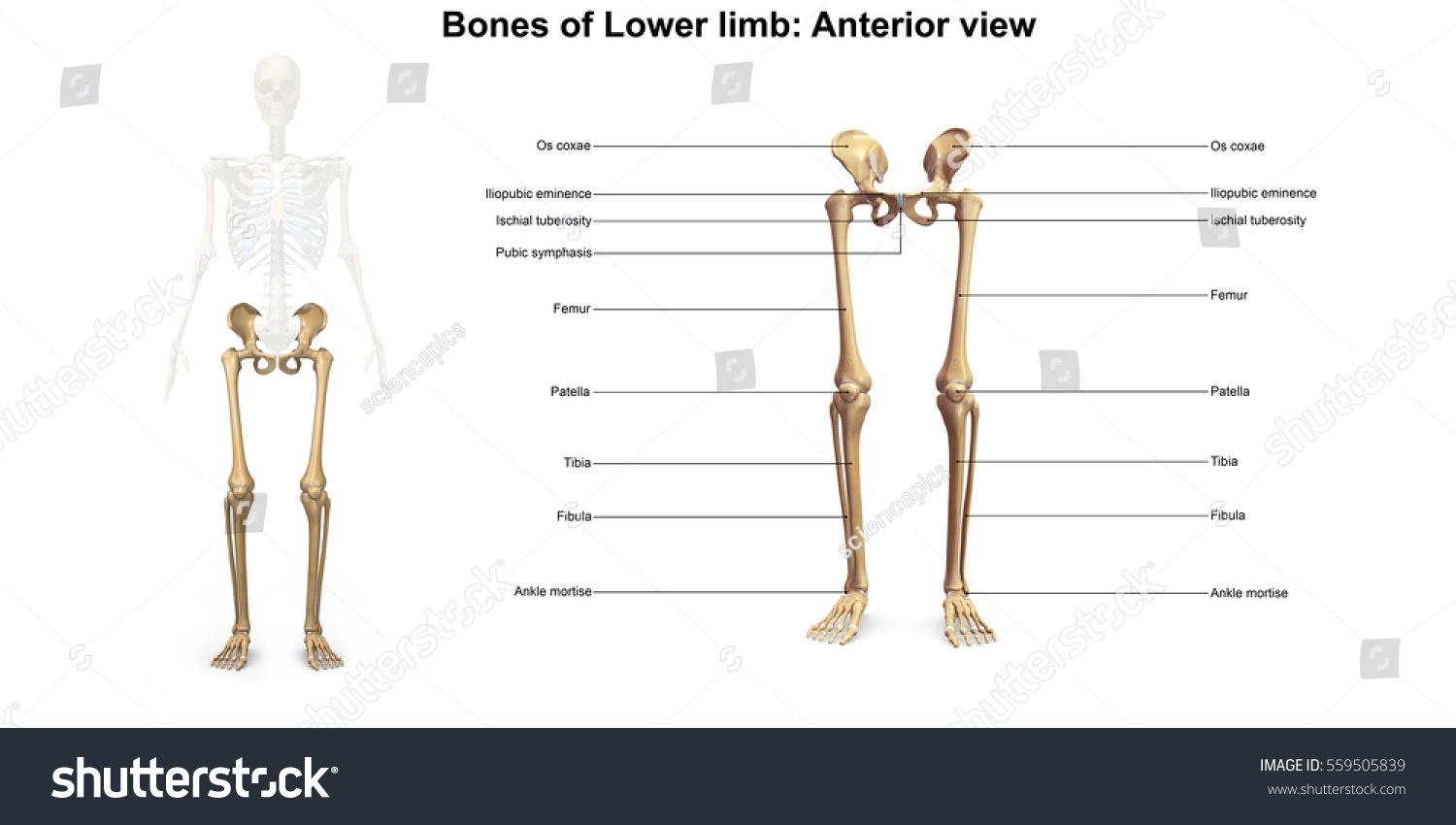 Bones Lower Limb Anterior View 3 D Stock Illustration 559505839 ...