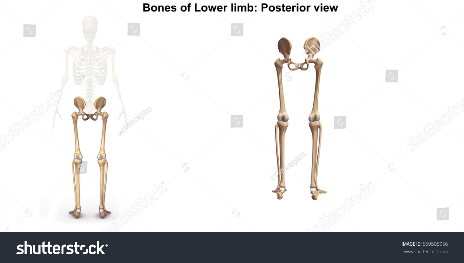 Bones Lower Limb Posterior View 3 D Stock Illustration 559505956 ...