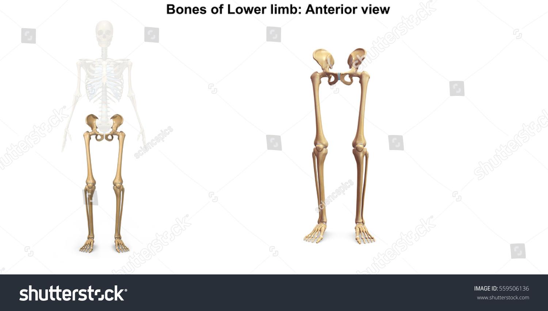 Bones Lower Limb Anterior View 3 D Stock Illustration - Royalty Free ...