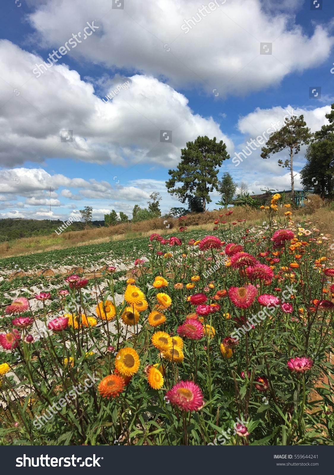 Beautiful Everlasting Flower Farm Blue Sky Stock Photo Edit Now
