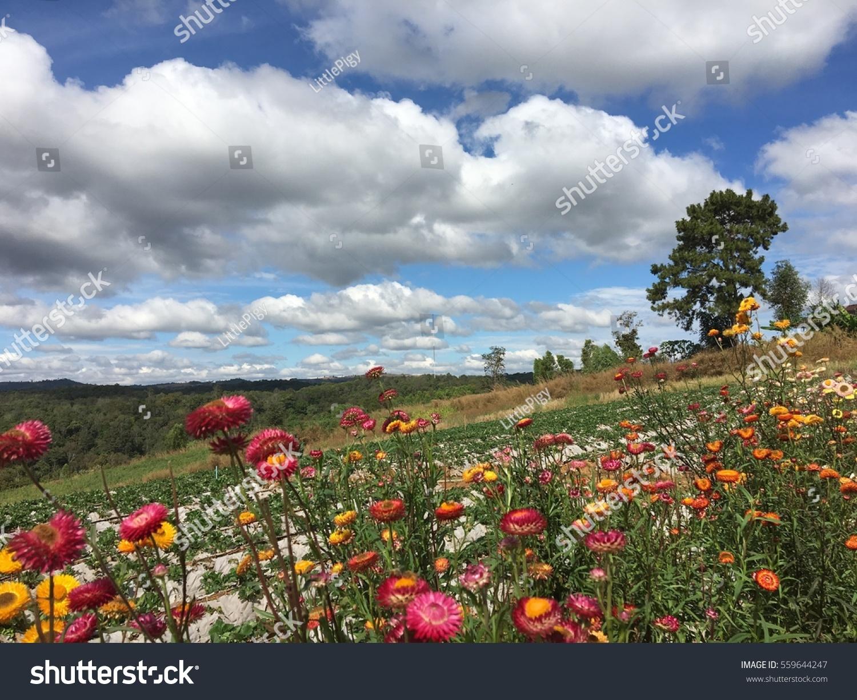 Beautiful everlasting flower farm blue sky stock photo edit now beautiful everlasting flower in farm with blue sky izmirmasajfo