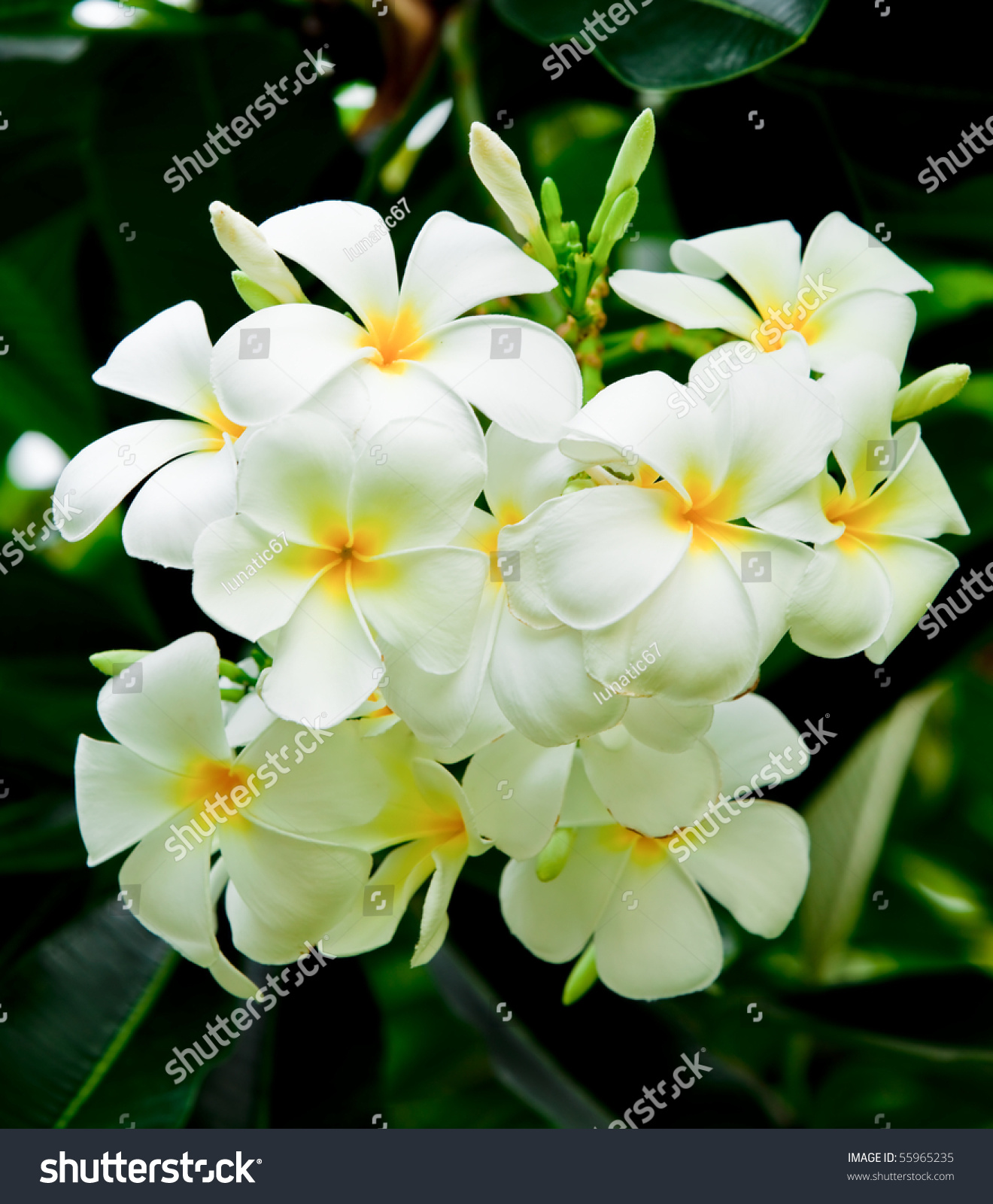 Leelavadee most beautiful tropical flower stock photo 55965235 leelavadee a most beautiful tropical flower dhlflorist Images
