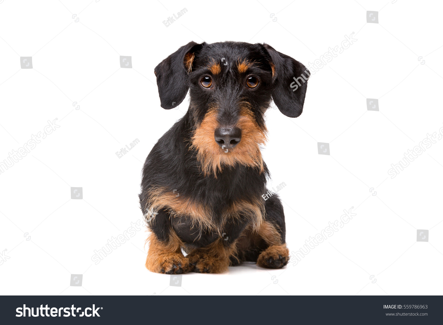 Wire Haired Dachshund Front White Background Stock Photo (Royalty ...