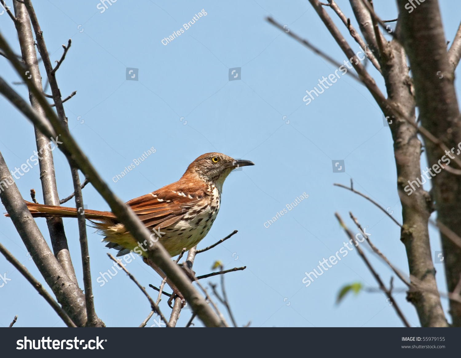 Brown thrasher symbolism gallery symbol and sign ideas brown thrasher symbolism image collections symbol and sign ideas brown thrasher toxostoma rufum perched on a biocorpaavc