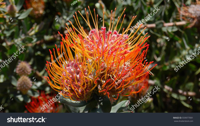 Beautiful exotic flower south africa stock photo royalty free beautiful exotic flower from south africa izmirmasajfo