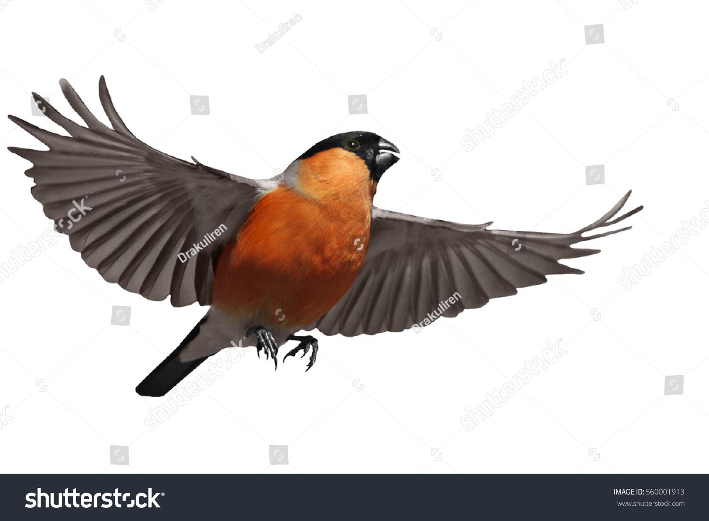 Bullfinch Flying On White Backgroundwinter Symbol Stock Photo Edit