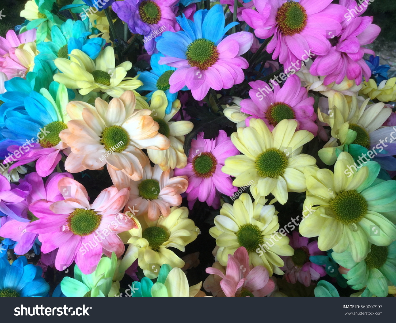 Royalty free rainbow daisies chrysanthemum rainbow 560007997 rainbow daisies chrysanthemum rainbow flower bouquets of blossom rainbow chrysanthemum flowers selective focus izmirmasajfo