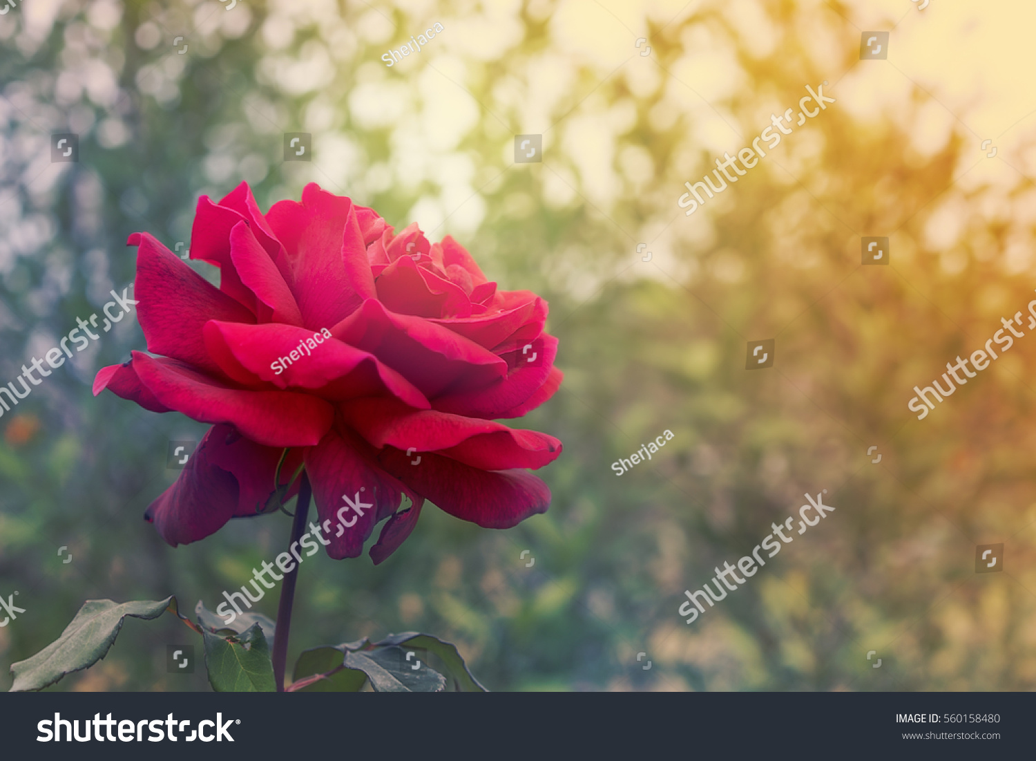 Red Rose Flower On Condolences Background Stock Photo Edit Now