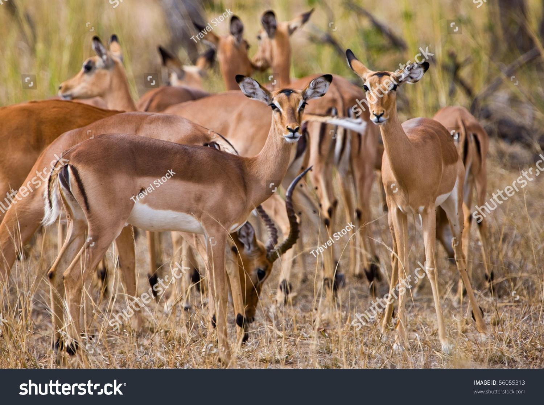 female impala antelopes kruger national park south. Black Bedroom Furniture Sets. Home Design Ideas