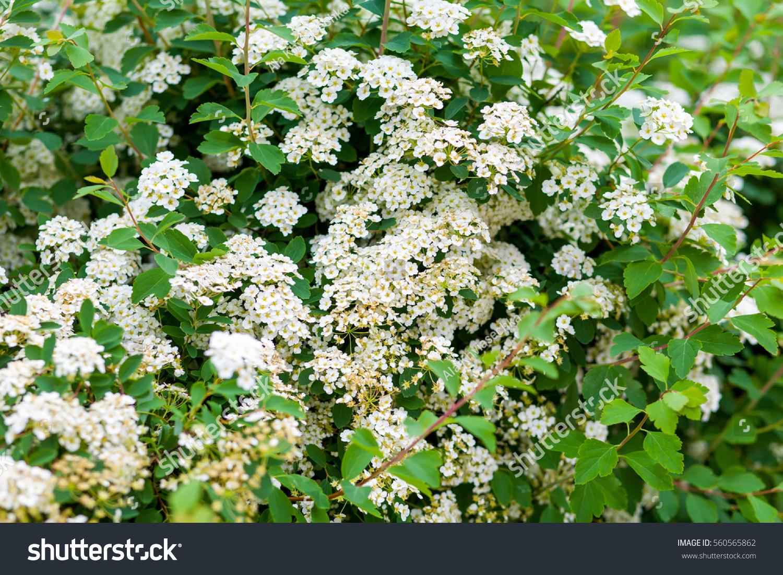 Close Common Hawthorn Shrub White Flowers Stock Photo Edit Now