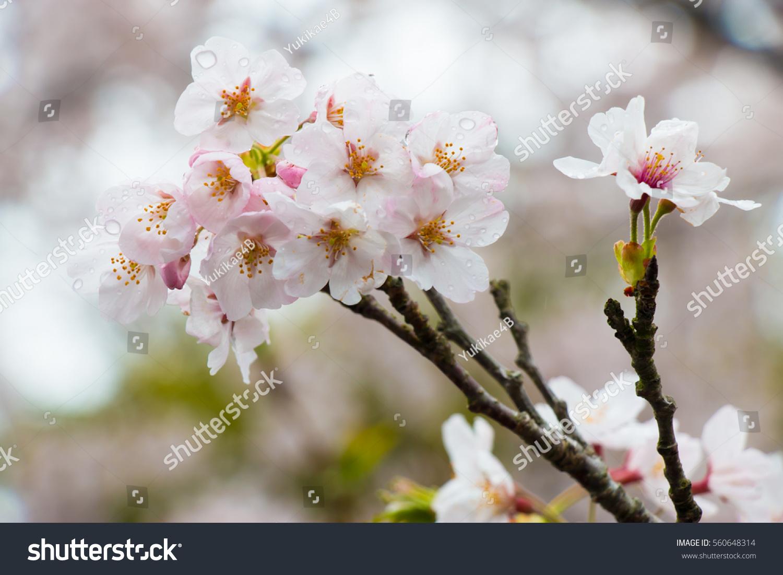 Beautiful cherry blossom sakura flower most stock photo 560648314 beautiful cherry blossom sakura flower the most beautiful flower full bloom in japan izmirmasajfo Gallery