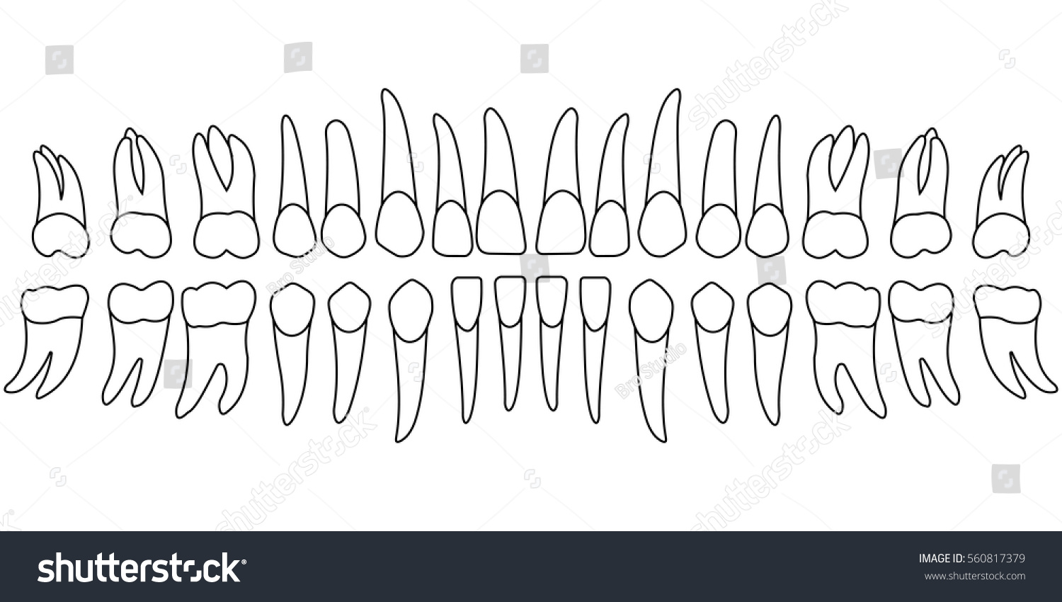 Teeth Chart Tooth Front Side Persons Stock Vector Royalty Free