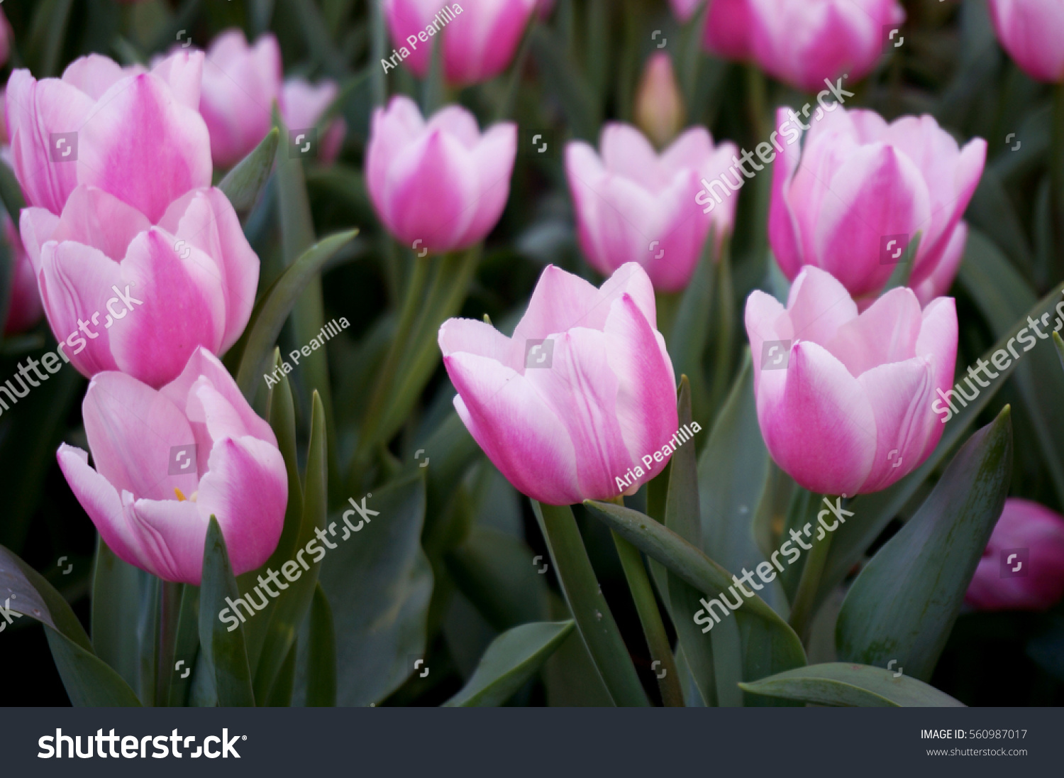 Background Of Group Of Pink Tulip Flowers Field And Green Leaves