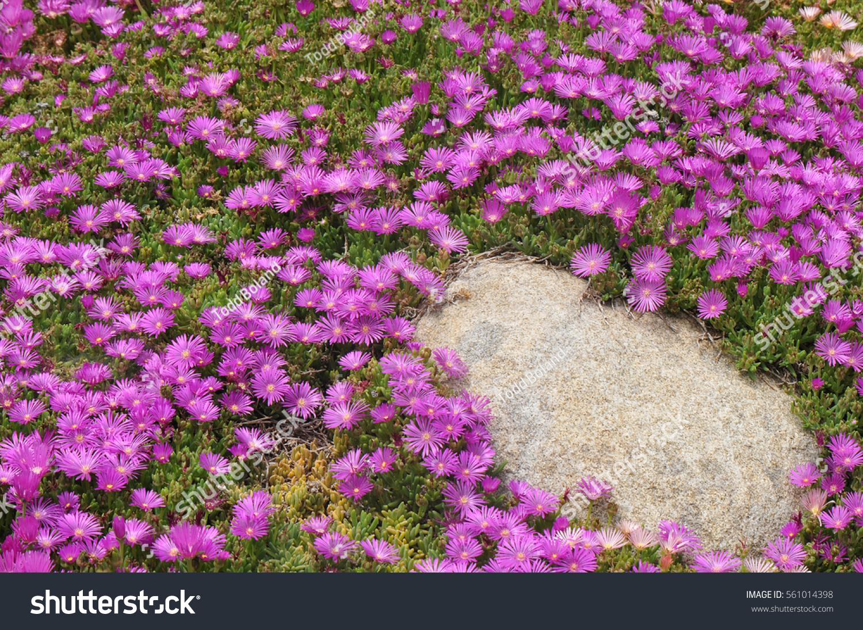 Pinkflowered Delosperma Plants Rock Garden Setting Stock Photo Edit