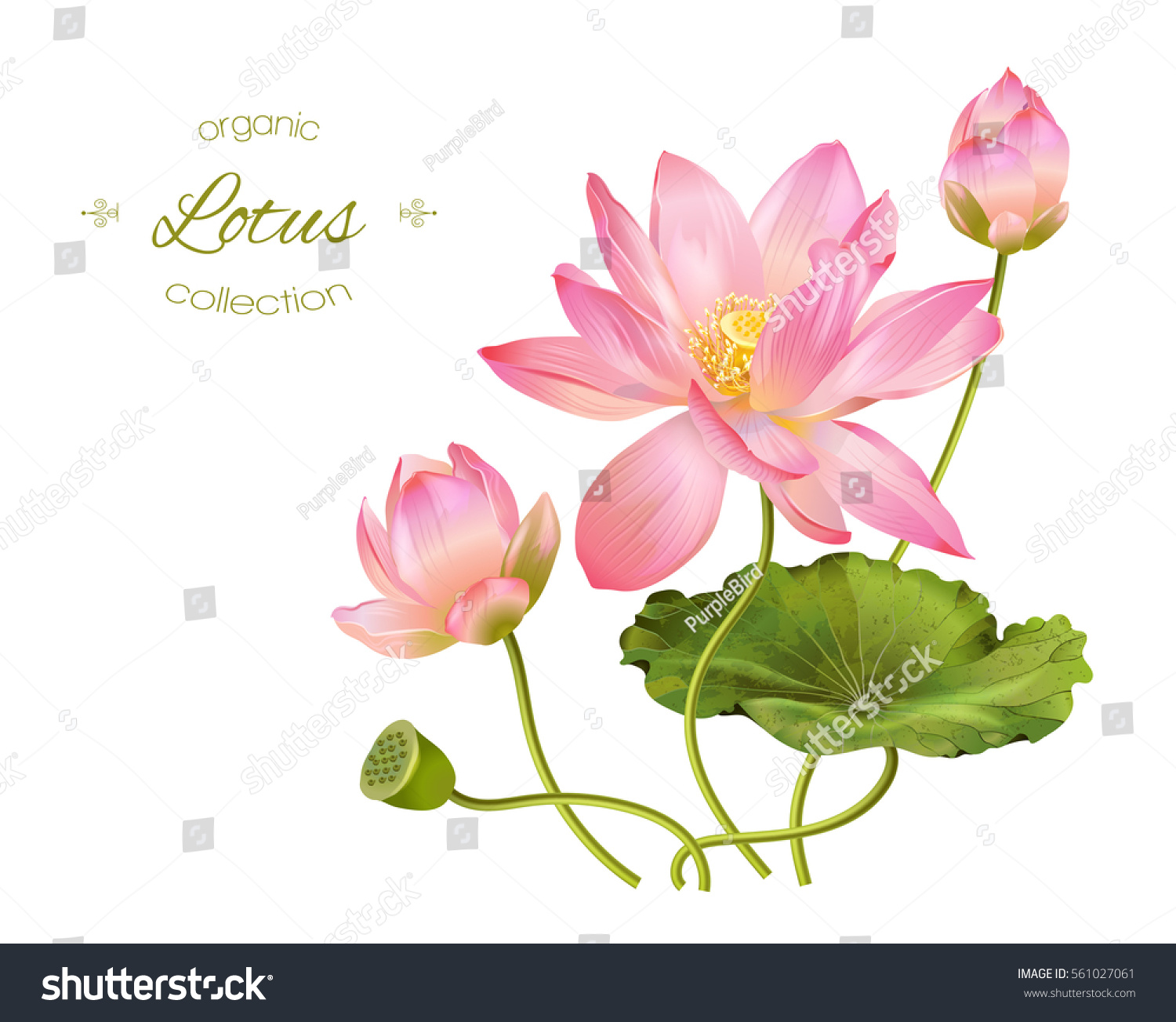 Vector Realistic Illustration Lotus Flowers Leaves Stock Vector