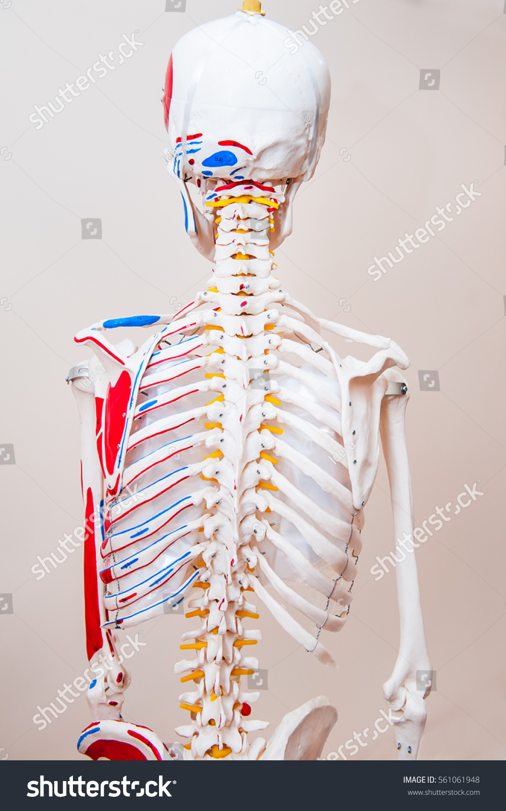 Colorful Human Anatomy Thorax Photo Human Anatomy Images