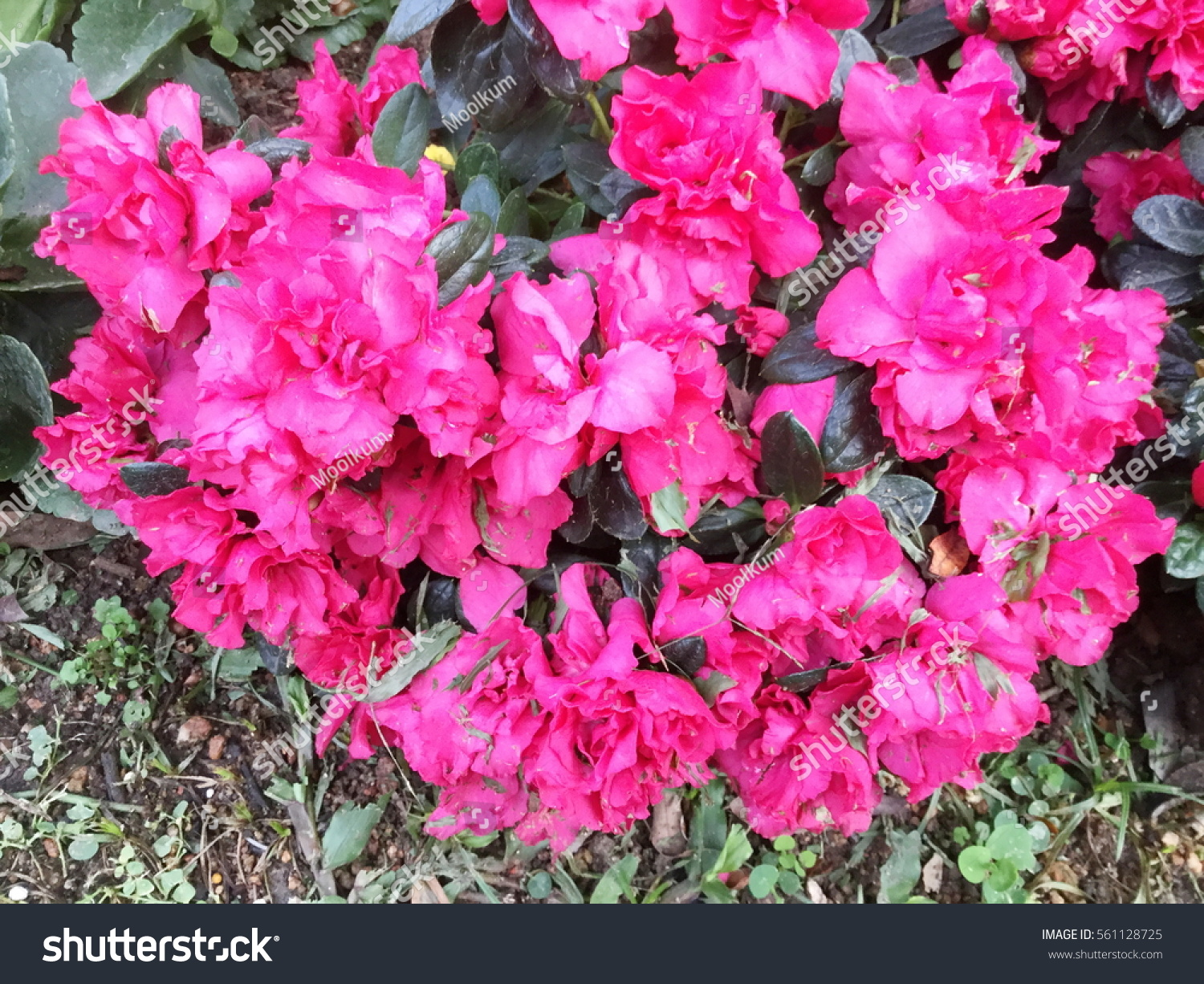 Pink Azalea Flowers Rhododendron Indicum Flower Stock Photo Edit