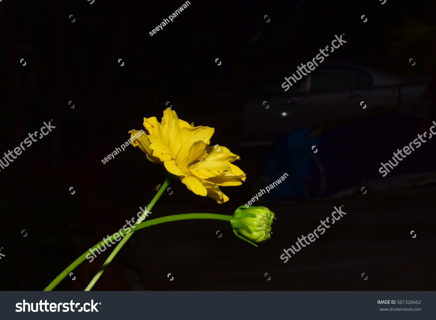 Cosmos Flowers In Yellow And Black Background Ez Canvas
