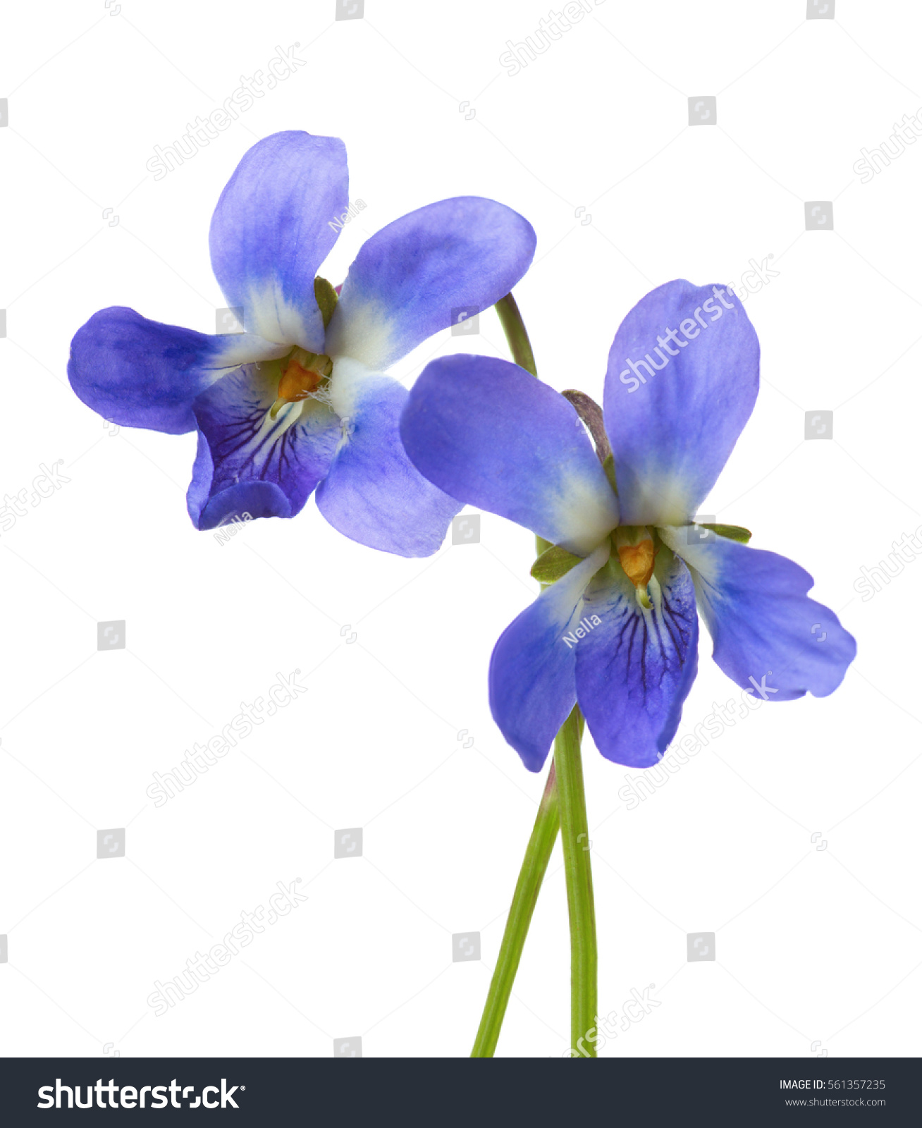 Two Early Spring Flowers Viola Odorata Isolated On White