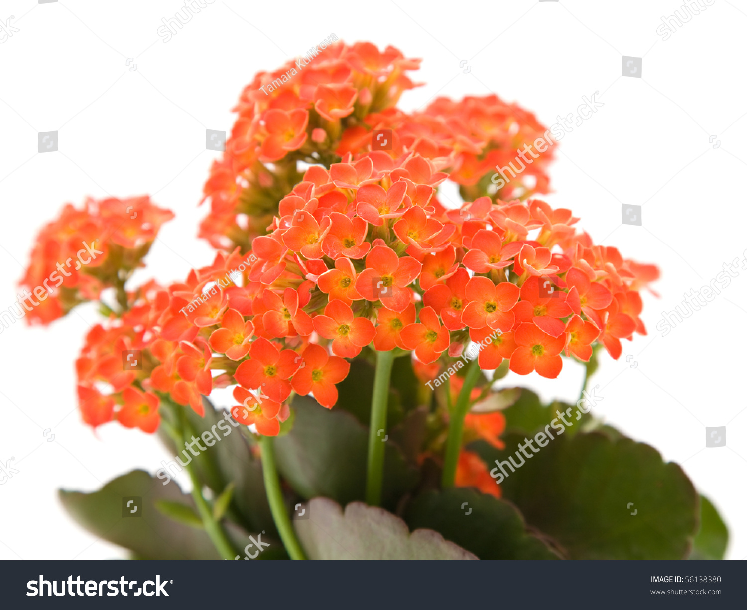 kalanchoe house plant html with Stock Photo Bright Orange Flowering Kalanchoe Plant Isolated On White on 2253759list besides The Most Popular Indoor Plants Of Germany furthermore Stock Photo Bright Orange Flowering Kalanchoe Plant Isolated On White in addition Beliebteste Zimmerpflanzen Topfpflanzen together with Kalanchoe.