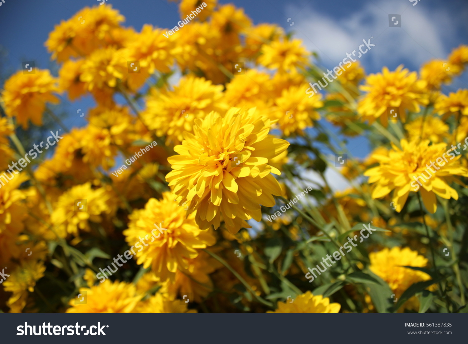 Yellow Flowers Golden Ball Stock Photo Royalty Free 561387835