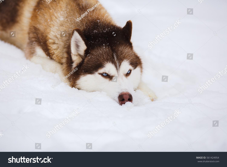 Red Siberian Husky Dog Blue Eyes Stock Photo Edit Now 561424954
