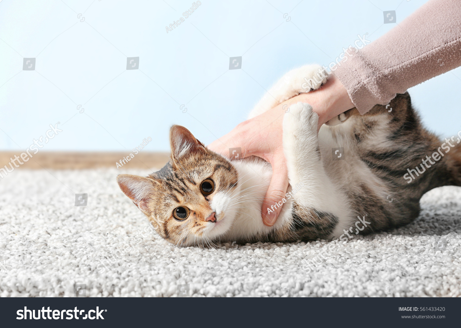 Cute Funny Cat Playing Owner While Stock