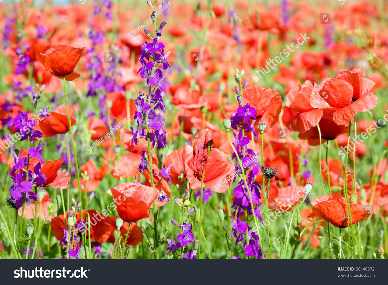 Beautiful Poppy Flowers Field Stock Photo 231065893