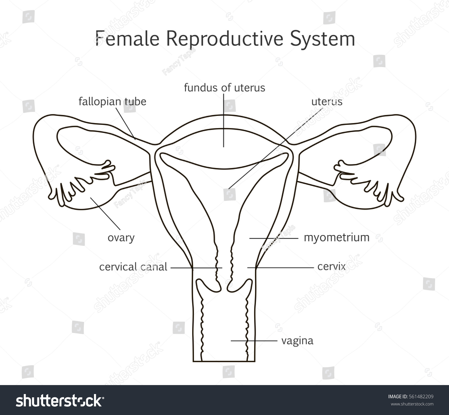 Female Reproductive System Line Icon Vector Stock Vector ...