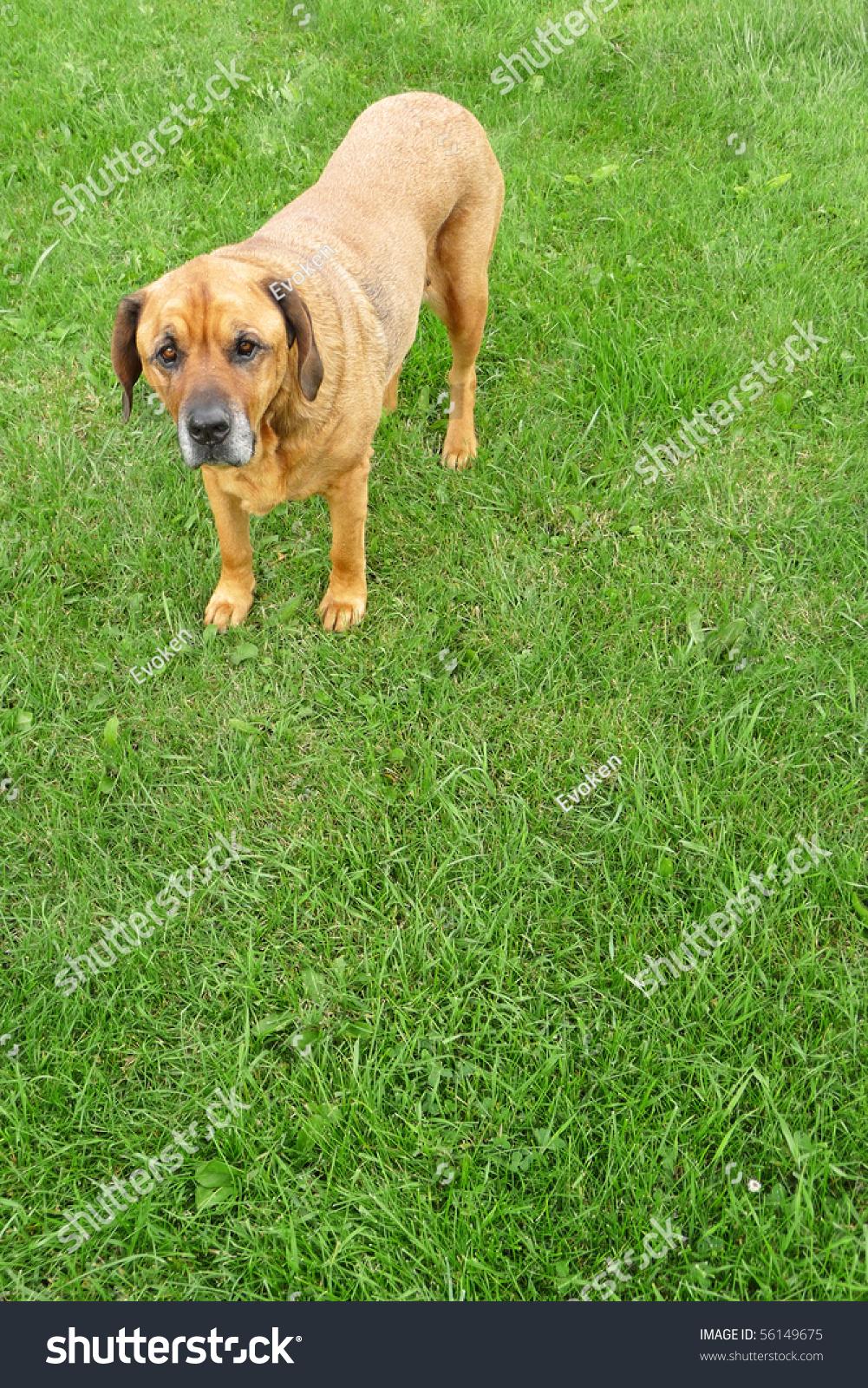 Rottweiler Mastiff Mix Standing On Lush Stock Photo Edit Now