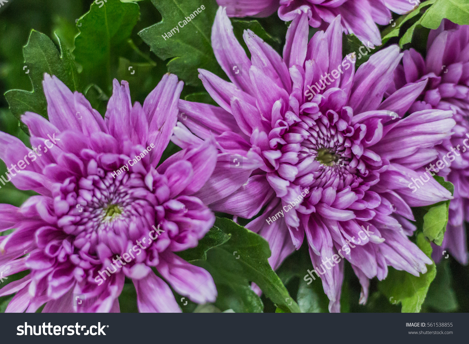 Beautiful purple daisy flowers blooming ez canvas id 561538855 izmirmasajfo