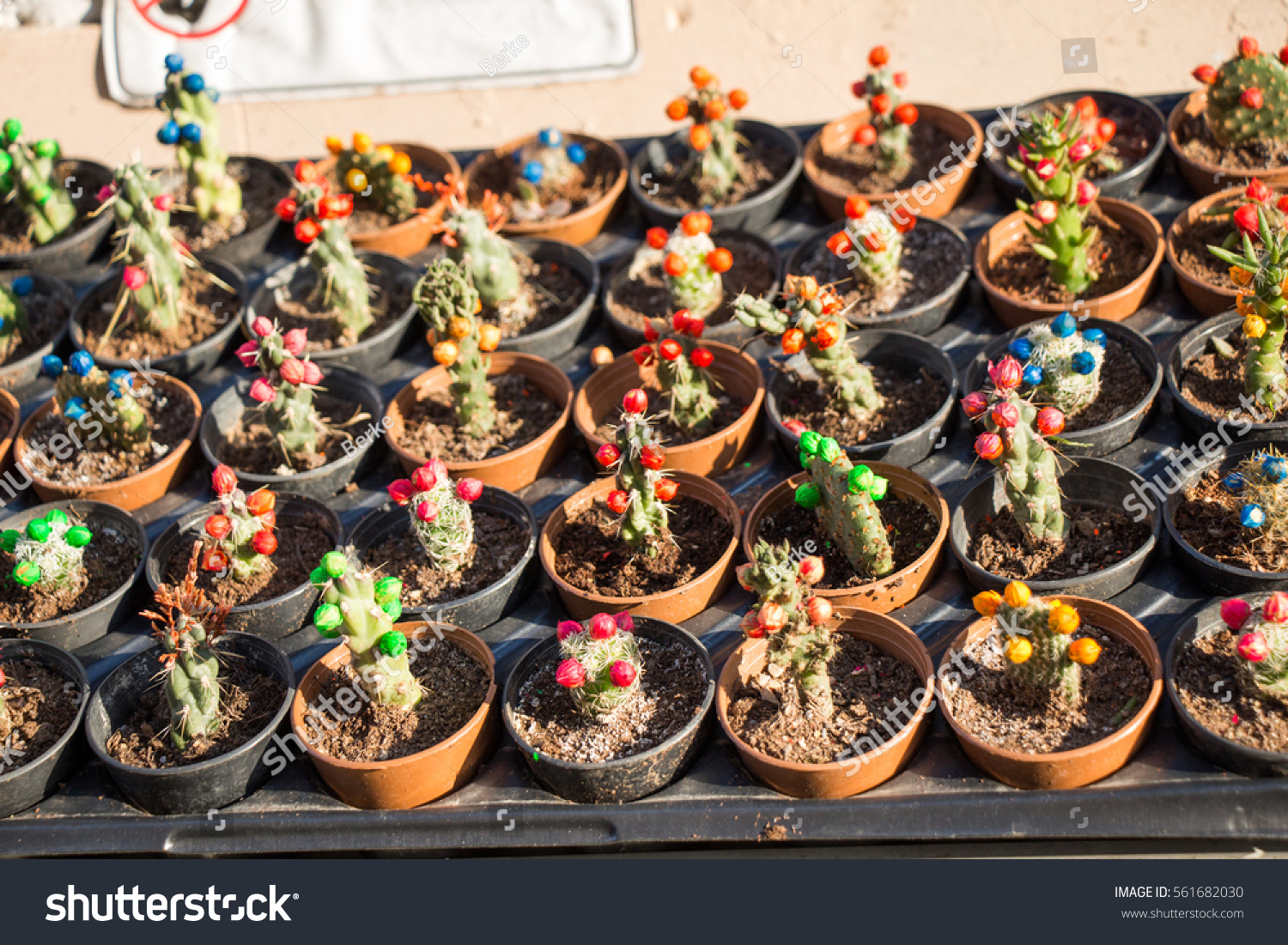 Little Colorful Cactus Small Pot Garden Stock Photo (Royalty Free ...