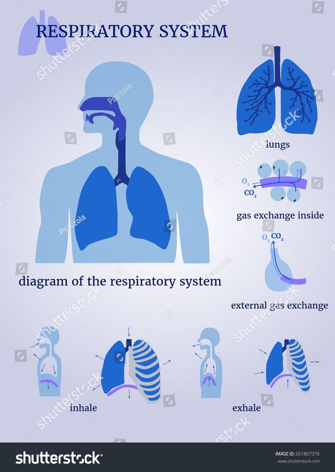 Respiratory system diagram respiratory system lungs stock vector respiratory system diagram of the respiratory system with lungs inside gas exchange external pooptronica