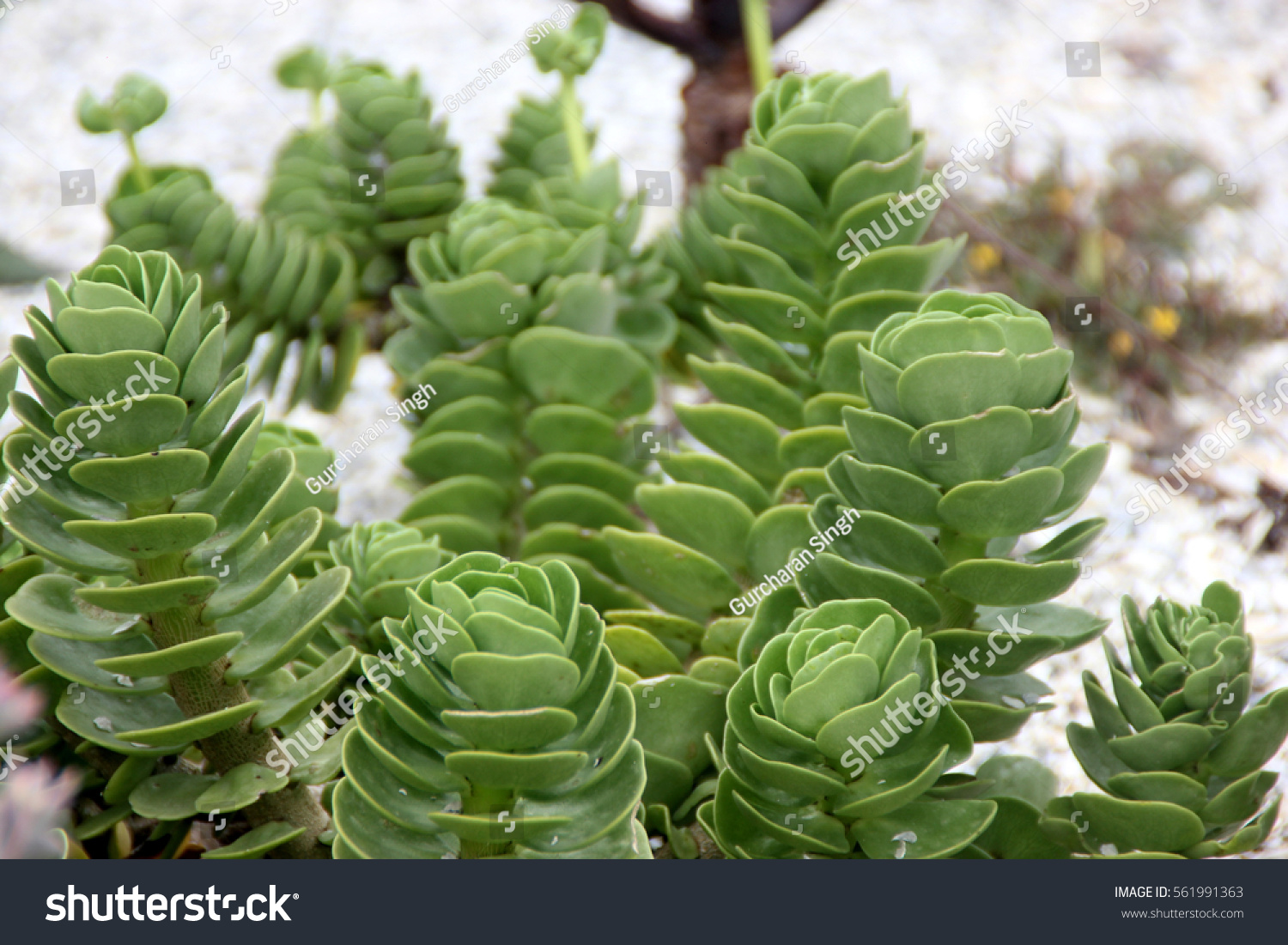 Portulaca Molokiniensis Ihi Rare Succulent Hawaiian Stock Photo