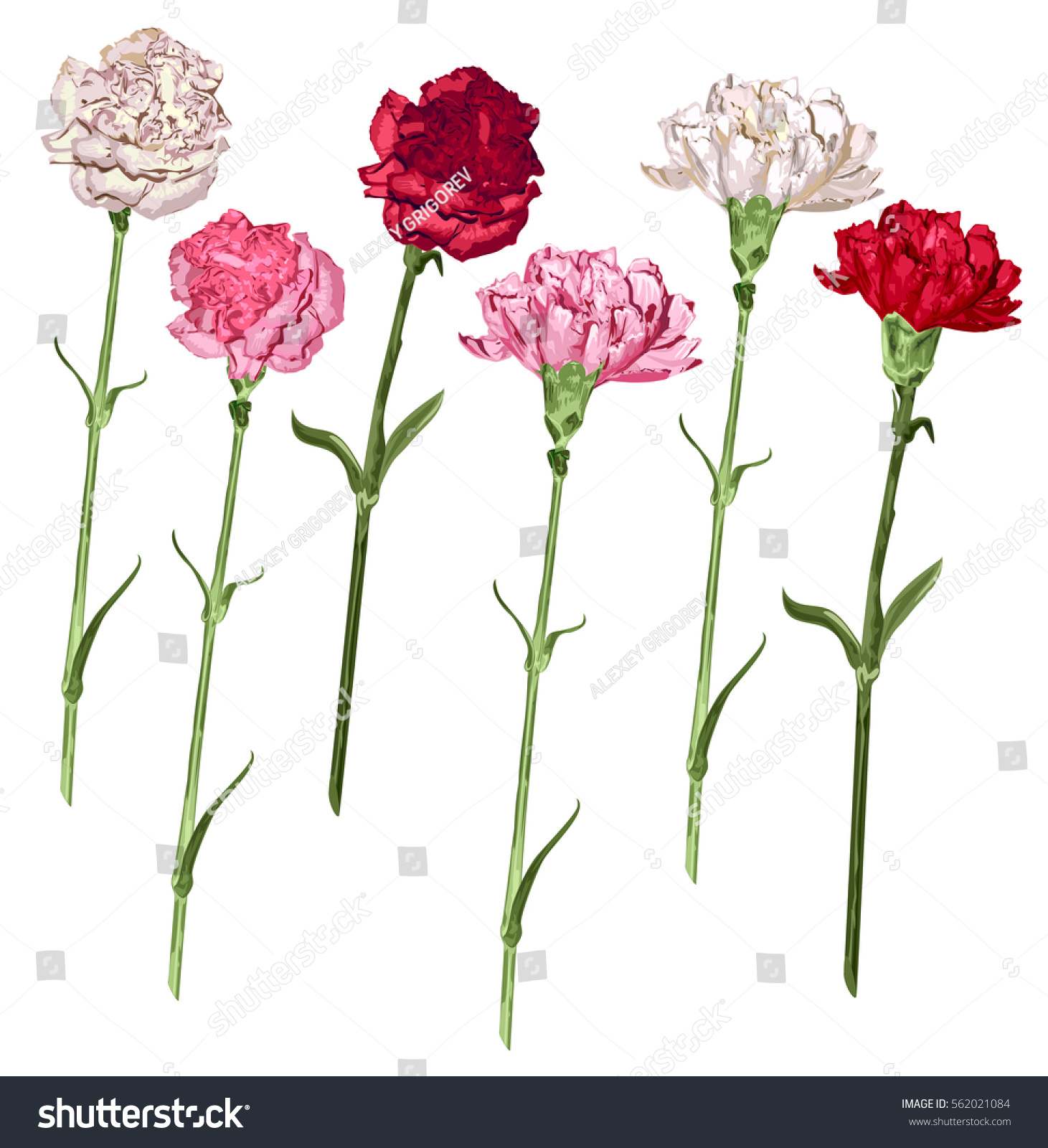 Set Carnation Flowers White Pink Red Stock Vector Royalty Free