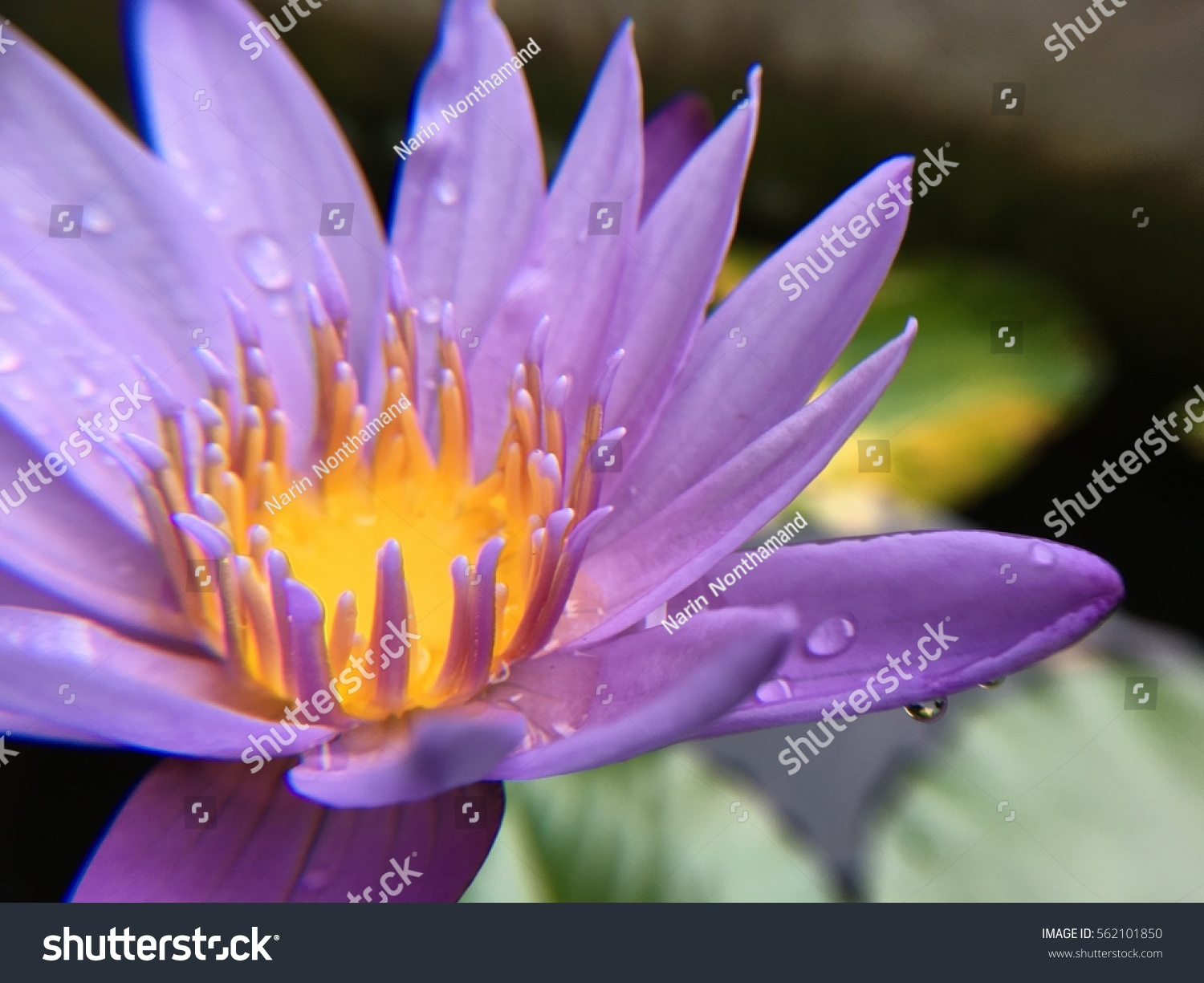 This Beautiful Waterlily Or Lotus Flower Is Complimented By The Rich