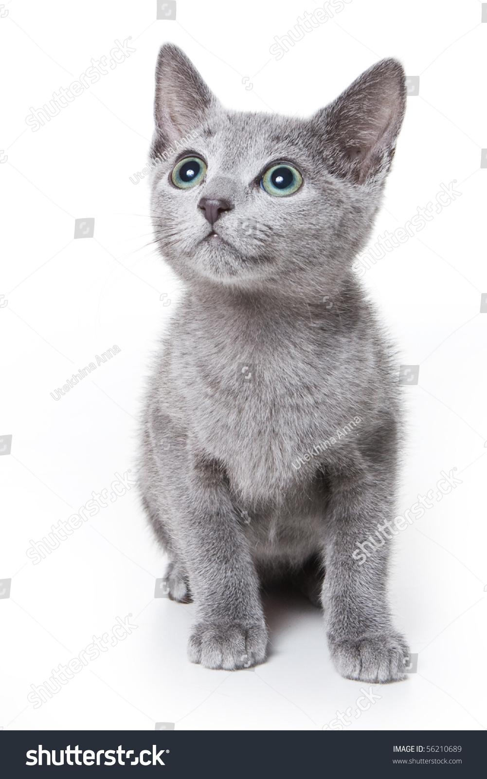 Russian Blue Kitten White Stock Shutterstock
