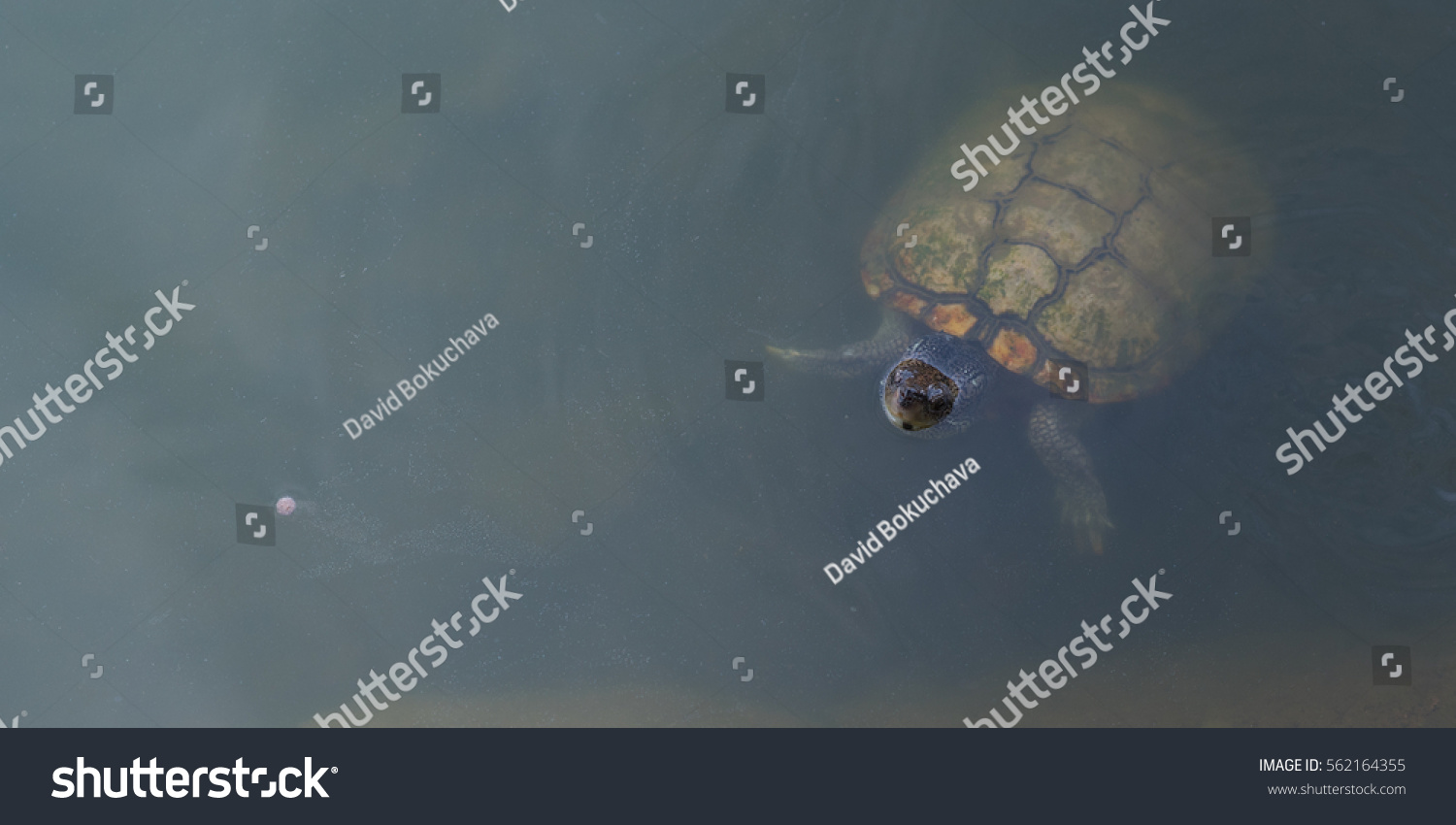 stock-photo-freshwater-turtle-looks-out-