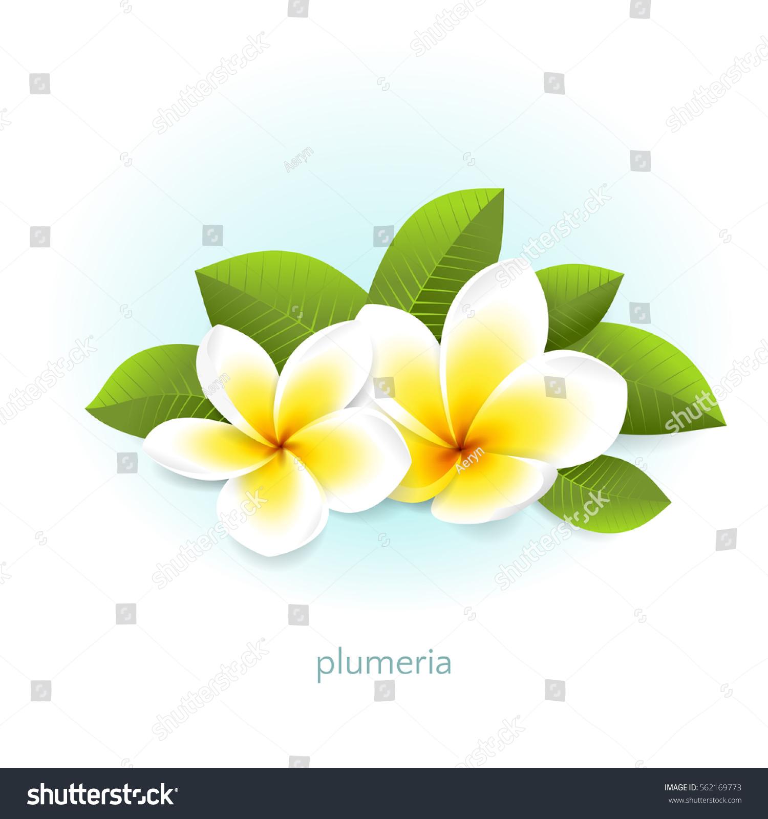 Vector Realistic Plumeria Leaves White Tropical Stock Vector