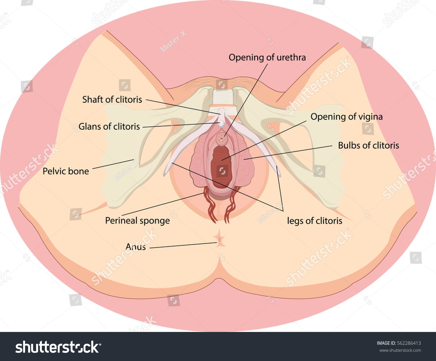 Vector Illustration Female Reproductive Organs Anatomy Stock Vector ...