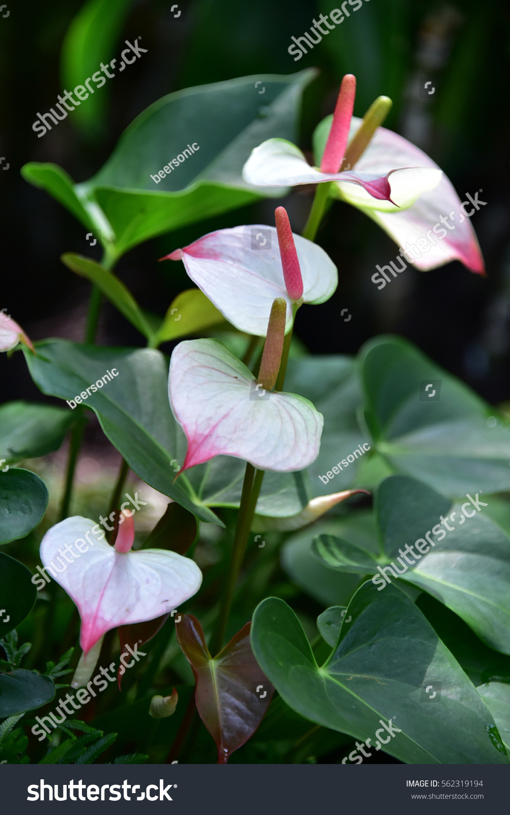 Royalty Free White Pink Flamingo Flower Sweet Color 562319194