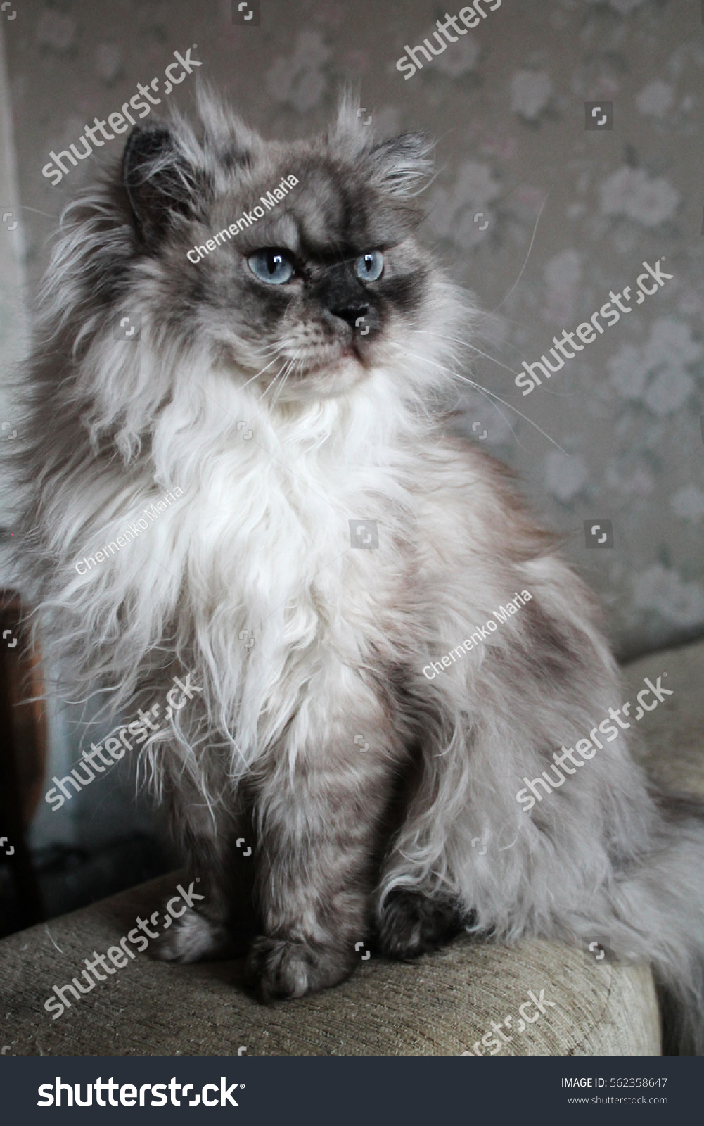 Gray Cat Blue Eyes Stock Shutterstock