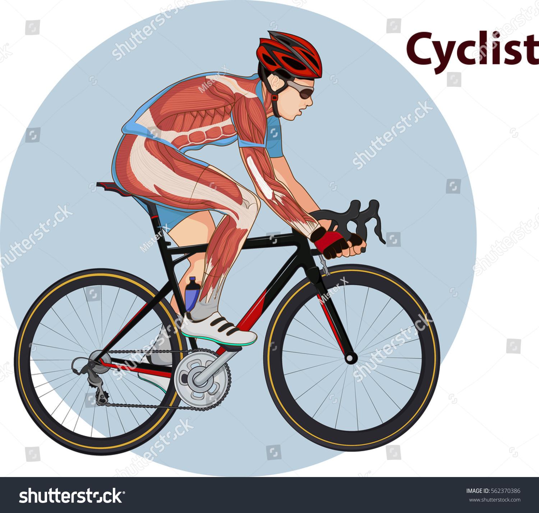 Vector Illustration Cyclist Muscle Anatomy Stock Vector 562370386 ...