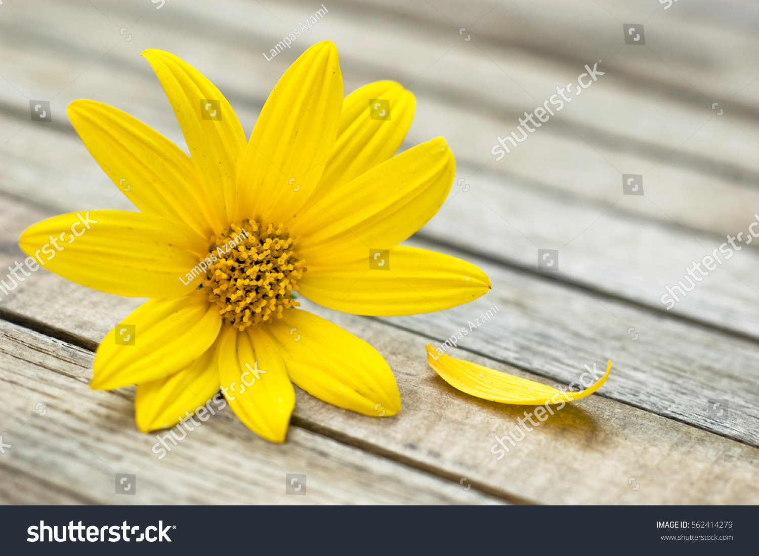 Close Daisy Like Yellow Flower One Stock Photo Edit Now 562414279