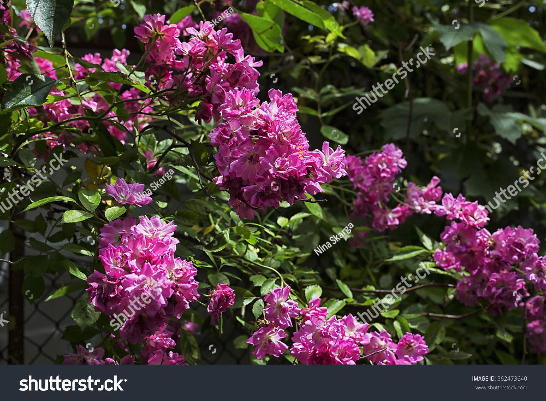 Flowering Lilac Branches Ez Canvas